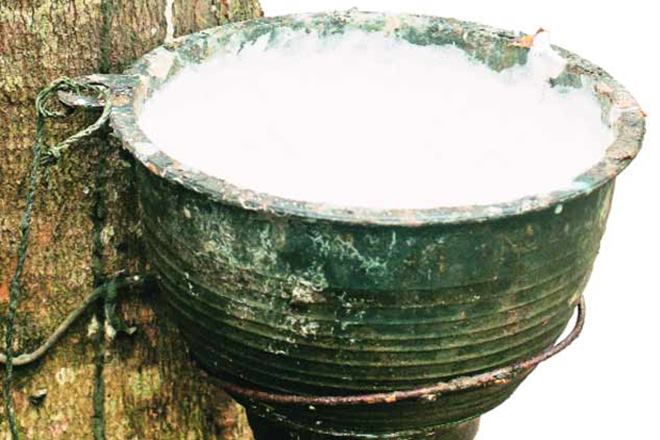 Rubber growers go easy on tapping as price drops 22%