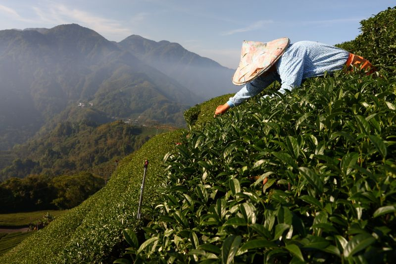 In Taiwan tea country, a scramble to adapt to extreme weather